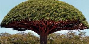 Dragon Blood - Drachenblutbaum